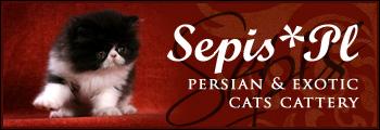 Koty brytyjskie długowłose - Highlander - hodowla Sybilla*PL