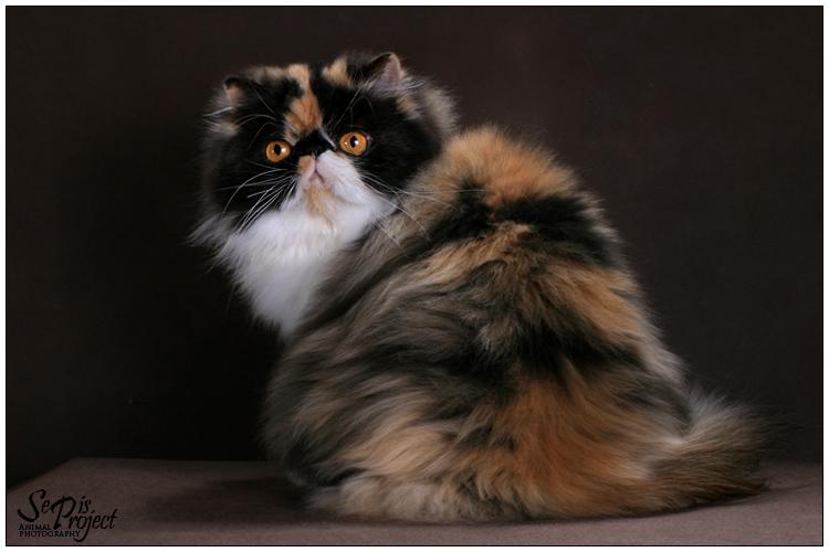 Koty Perskie I Egzotyczne Sepispl
