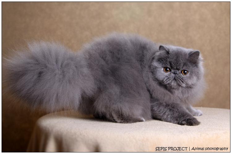 Koty perskie i egzotyczne Sepis*PL