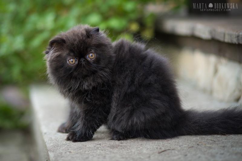 Koty Egzotyczne I Perskie Hodowla Kotów Egzotycznych Krótkowłosych