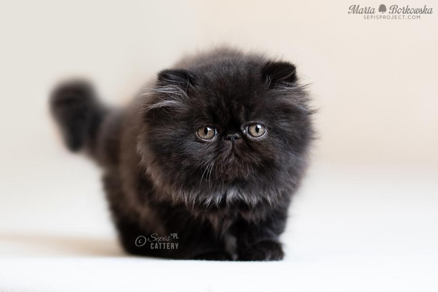 Unikalne KOTY EGZOTYCZNE i PERSKIE - hodowla kotów egzotycznych RC81