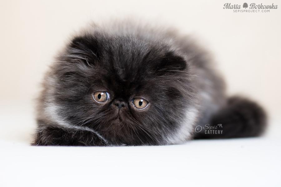 Bardzo dobra KOTY EGZOTYCZNE i PERSKIE - hodowla kotów egzotycznych YP06